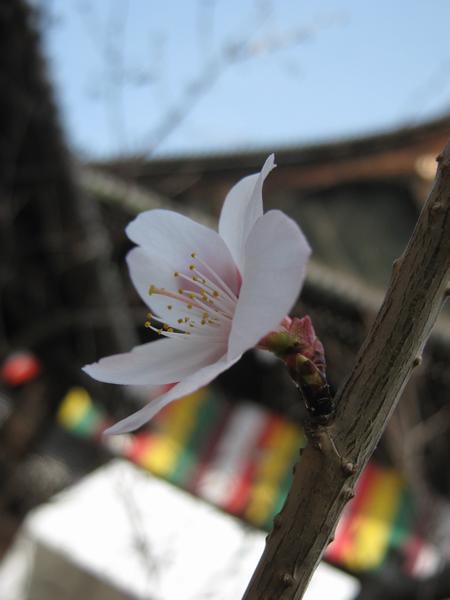 Chiosakura